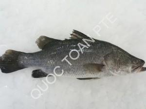 barramundi-lates-calcarifer