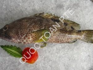 grouper-epinephelus-spp