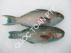 Parrot fish G.G.S - Scarus ghobban