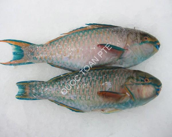 Parrot fish G.G.S - Scarus ghobban
