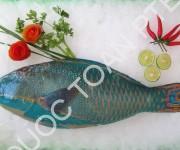 Parrotfish-Scarus-ghobban-1