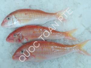 red-mulet-parupeneus-heptacanthus
